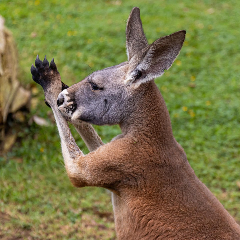 Los canguros tienen 6 meses de edad