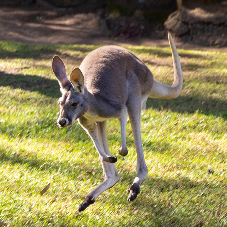 Canguro rojo recorre el área del Zoológico
