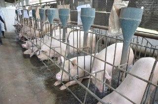 El cuidado de los cerdos es fundamental para su comercio./Foto: MAGA.