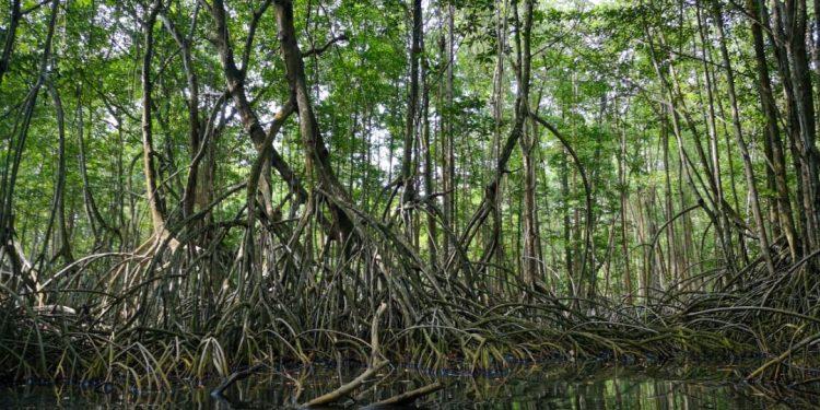 En Guatemala el ecosistema manglar representa una superficie de 25 mil 089 hectáreas.