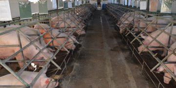 Guatemala busca ser reconocida por acciones que erradicaron peste porcina